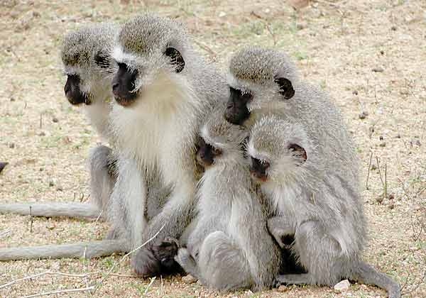 Vervet monkey huddle
